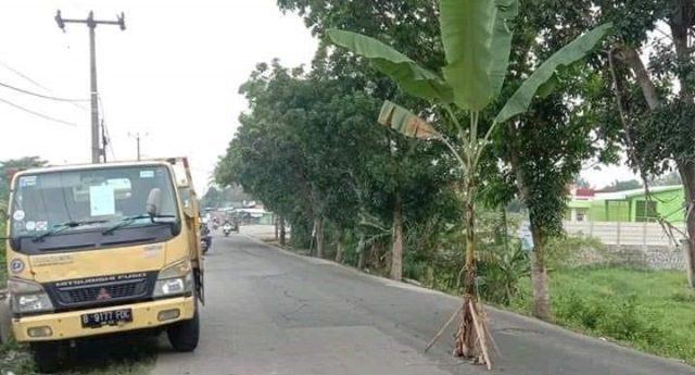 Protes Jalan Rusak, Pohon Pisang Ditanam di Tengah Jalan